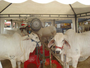 Climatizador para gado